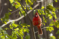 Fall northern cardinal male in autumn light Royalty Free Stock Photo