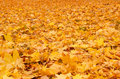 Fall orange autumn leaves on ground Stock Images