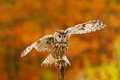 Fall orange forest with wild owl. Cute bird in the nature. Owl with open wings. Owl in orange autumn leaves forest. Long-eared Owl Royalty Free Stock Photo