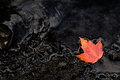 Fall Orange Maple Leaf on Dark Wet Rocks Royalty Free Stock Photo