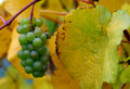 Fall Pinot Gris Grapes Stock Photos