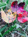 Fall red yellow green leaves leaf color change four demonstrating the colors of the season stacked Royalty Free Stock Photo