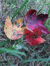 Fall red yellow green leaves leaf color change four demonstrating the colors of the season stacked Stock Images
