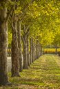 Fall scence with rows of trees Royalty Free Stock Photo