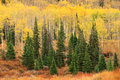 Fall scene in the Wasatch Mountains. Royalty Free Stock Photo
