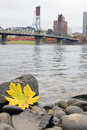 Fall season along willamette river portland oregon yellow maple leaf on the rocks by the banks of in with hawthorne bridge Stock Photo