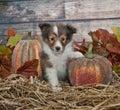 Fall Sheltie Puppy Royalty Free Stock Photo