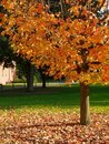 Fall: sunlit yellow tree green lawn Royalty Free Stock Images