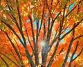 Fall Tree Colors Royalty Free Stock Photo