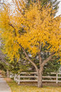 Fall Tree and Fence Royalty Free Stock Photo