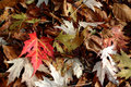 Fallen Acer Leaves in Autumn Stock Photos