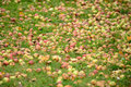 Fallen Apples on the Ground in Autumn Stock Photos