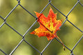 A fallen autumn leaf caught on wire fence in backlit Stock Images