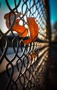 Caught up autumn leaves in chain link fence