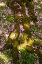 Fallen cherry blossoms at the moss-grown root of a tree at sunshine. Royalty Free Stock Photo