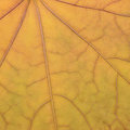 Fallen golden yellow maple leaf texture pattern, autumn fall Royalty Free Stock Photo