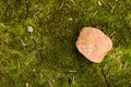 Fallen leaf on green moss sitting in the forest Stock Photo