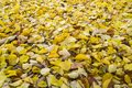 Fallen leaves. Golden autumn. Autumn maple leaves in the Park. The background of yellow leaves Royalty Free Stock Photo