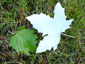 Fallen leaves of white poplar two silver lying grass Stock Image