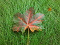 Fallen maple leaf on a green grass Royalty Free Stock Photo