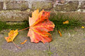 Fallen Maple leaf and seeds in autumn Royalty Free Stock Images