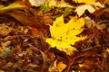 Fallen maple leave Royalty Free Stock Photo