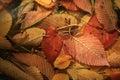 Fallen orange autmn leaves background yellow Stock Image