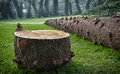 Fallen pine tree cut down cook araucaria columnaris Stock Photo