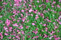 Fallen pink petals on green grass spring blossom water droplets rain Royalty Free Stock Photography