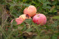 Fallen red apples in autumn grass Stock Photos