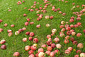 Fallen red apples in green grass Royalty Free Stock Photos