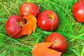 Fallen red apples in green grass. Royalty Free Stock Images