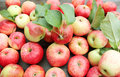 Fallen red apples Royalty Free Stock Photo