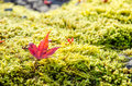 Fallen red maple leave Royalty Free Stock Photo