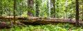 Fallen Redwood Royalty Free Stock Photo