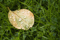 Fallen rose leaf with dewdrops in the morning on grass clover in late summer Royalty Free Stock Images