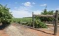 Fallen Row of Vines. Royalty Free Stock Photo