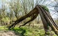 Fallen tree arch Royalty Free Stock Photo