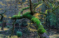 Fallen tree in an autumn forest in the Dandenong Ranges, Australia. Royalty Free Stock Photo