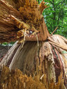 Fallen tree iii detail of the inside of a and broken Royalty Free Stock Images