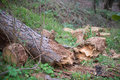 Fallen tree after storm Royalty Free Stock Photo