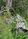 Fallen Tree Stump and Heart Shaped Leaf Plants Growing in a Grassy Forest, Kilauea Volcano Royalty Free Stock Photo