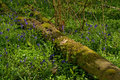 Fallen tree trunk in Bluebell forest Royalty Free Stock Photo