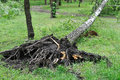 Fallen tree after  windy storm Royalty Free Stock Photo