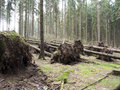 Fallen trees shot of the uprooted by a storm Royalty Free Stock Photography