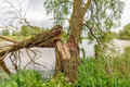 Fallen willow tree on the bank of a river Royalty Free Stock Photo