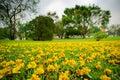 Fallen yellow flowers