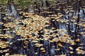 Fallen yellow leaves float in a pond in the estate of Leo Tolstoy in Yasnaya Polyana Royalty Free Stock Photo