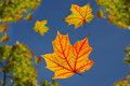 Falling autumn leaves Royalty Free Stock Photos