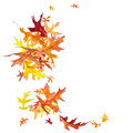 Falling autumn leaves oak isolated on white background Stock Photography